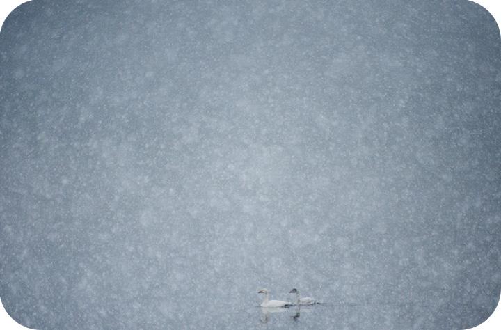 snow-tundra-swans