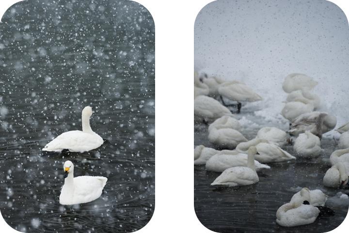 tundra-swans-snowstorm-suwa